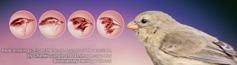 عصافير داروين
