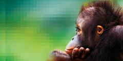 Een orang-oetan