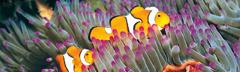 ماهیها در کنار صخرههای مرجانی