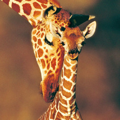 A giraffe with its baby
