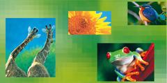 Giraffen, eine Sonnenblume, ein Vogel, ein Frosch