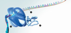 RNK, bjelančevine i ribosomi