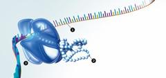 आर.एन.ए, प्रोटीन और राइबोज़ोम्स