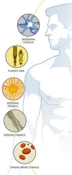 Moždana stanica, stanice oke, koštana stanica, mišićne stanice, crvene krvne stanice