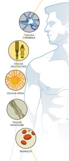Una cellula cerebrale, delle cellule dell'occhio, una cellula ossea, delle cellule muscolari e degli eritrociti