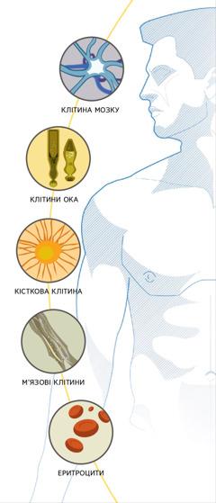 Клітина мозку, клітини ока, кісткова клітина, м'язові клітини, еритроцити