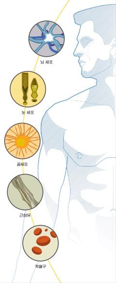뇌세포, 눈 세포, 골세포, 근섬유, 적혈구
