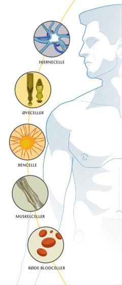 En hjernecelle, øyeceller, en bencelle, muskelceller og røde blodceller