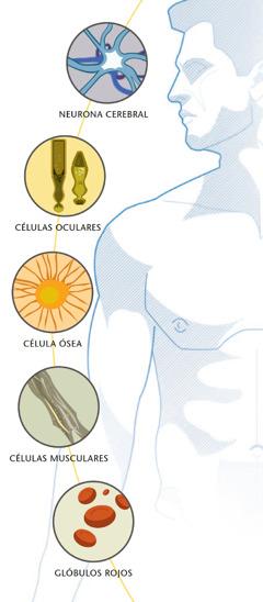 neurona cerebral, células oculares, célula ósea, células musculares y glóbulos rojos