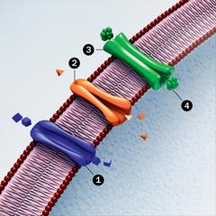 Ћелијска мембрана