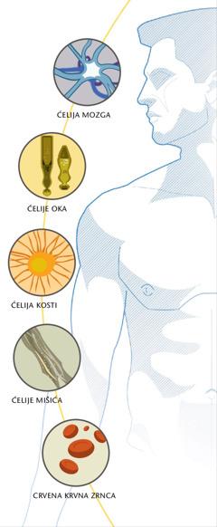 Ćelija mozga, ćelija oka, ćelija kosti, ćelije mišića i crvena krvna zrnca