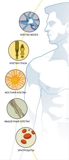 Клетка мозга, клетки глаза, костная клетка, мышечные клетки и эритроциты