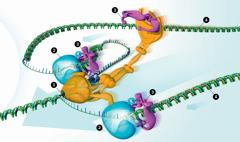 Enzimi kopiraju DNK
