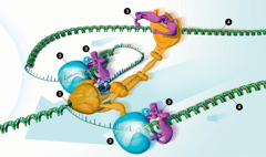 DNA being copied by an enzyme machine