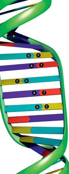 The DNA ladder