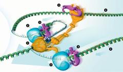 Una máquina de enzimas copia ADN