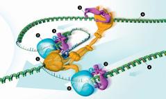 Enzimlerden oluşan bir makine DNA'yı kopyalıyor