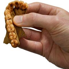Dhëmbë të fosilizuar