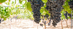 A vineyard with large clusters of ripe grapes