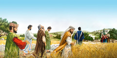 Jesus' disciples plucking and eating grain on the Sabbath