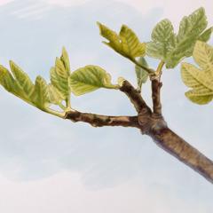Een tak van een vijgenboom met bladeren, maar zonder vruchten