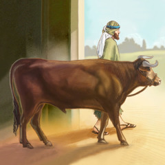 En israelittisk mann fører oksen sin ut av båsen