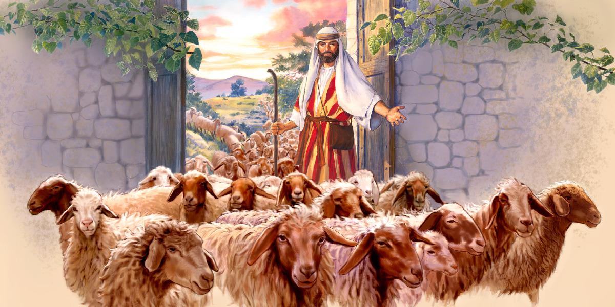 Pastor abre portão para que grande rebanho de ovelhas entre no aprisco