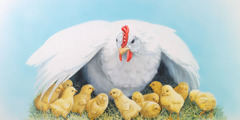 암탉이 병아리들을 날개 아래 모은다