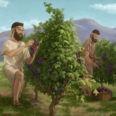 Judeus colhem uvas na sua terra