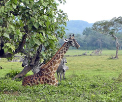 Giraffes and zebras in Africa