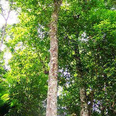 The Agarwood tree