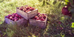 Crates of apples in an orchard