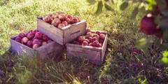 صناديق تفاح في بستان