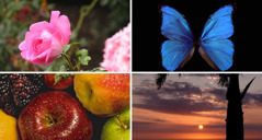 A pink rose, a blue butterfly, fruit of various colors, and the sun on the horizon