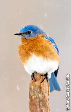 Xinyenyana lexi vuriwaka eastern bluebird