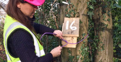 A worker installs a dormouse nesting box