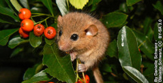 Seekor hazel dormouse