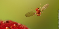 Impukane ethiwa yi-fruit fly