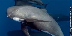 Una balena cap d'olla
