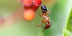 Una formiga fustera es neteja les antenes