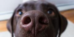Hidung anjing