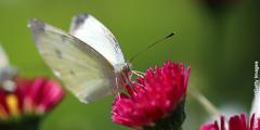 La papallona blanqueta de la col en una flor