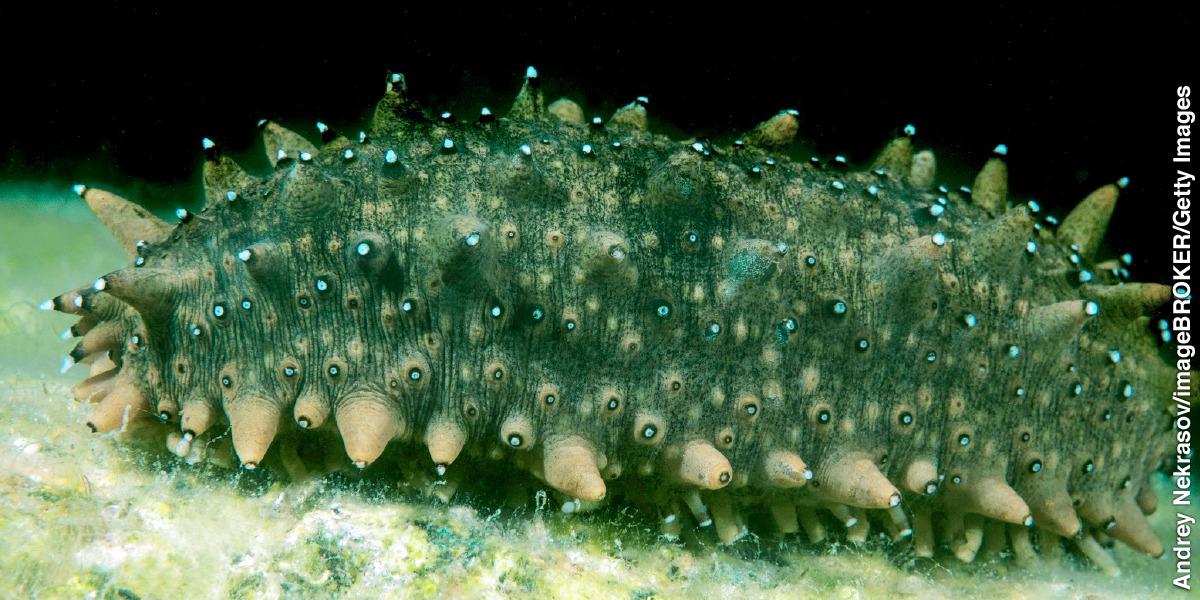 The Sea Cucumber S Smart Skin Was It Designed
