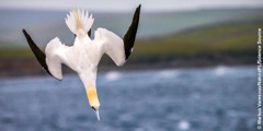 A gannet diving into the water.