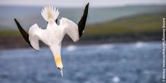 Isang gannet na nagda-dive sa tubig.