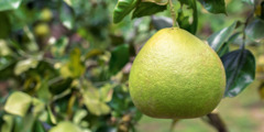 A pomelo fruit hanging from a tree.