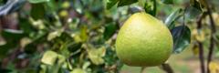 အပင်မှာ သီးနေတဲ့ ကျွဲကောသီးကို တွေ့ရစဉ်။