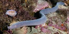 En slimål svømmer langs havbunnen.