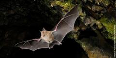 Um morcego a voar numa gruta.