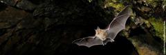 Koopas lendav nahkhiir.